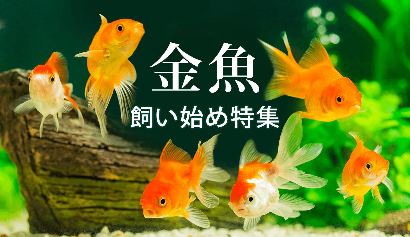 金魚の飼い方特集