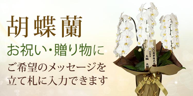お祝い・贈り物に 胡蝶蘭