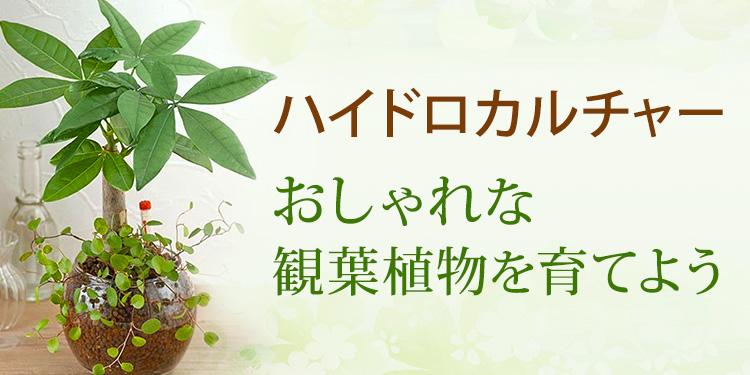 ハイドロカルチャー:おしゃれな観葉植物を育てよう