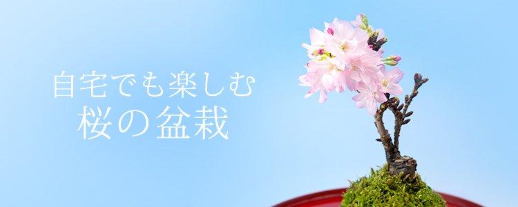 お花見 | 桜の盆栽