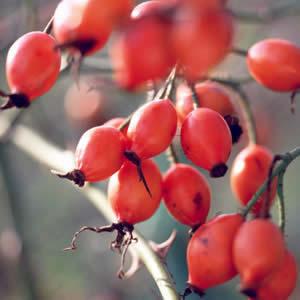 バラの実から抽出した天然ビタミンC