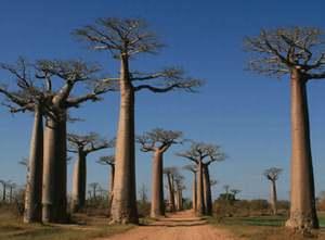 「生命の木バオバブ」バオバブヘアオイル