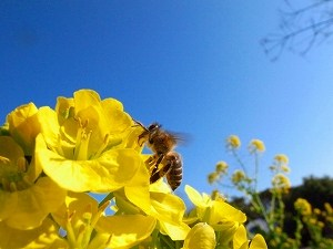 ミツバチが作る注目の成分!