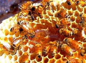 女王蜂だけの栄養豊富な特別食!
