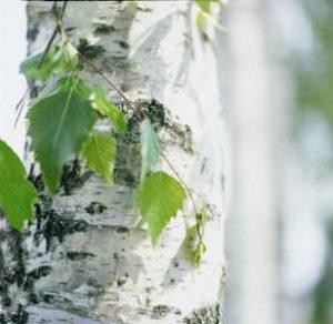 注目される、ホワイトバーチ(白樺)の樹液や葉のエキス