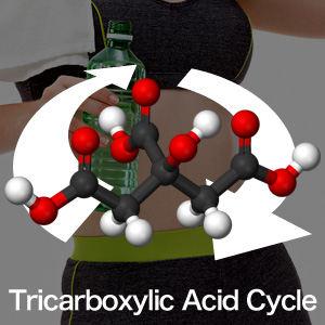クエン酸サイクルとは