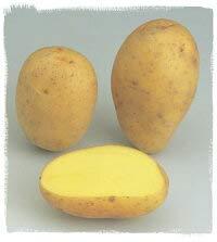 【種ジャガイモ・種いも】フレンチポテト「コロール」の種じゃがいも 約500g入【春ジャガイモ用12月下旬?2月中旬発送】