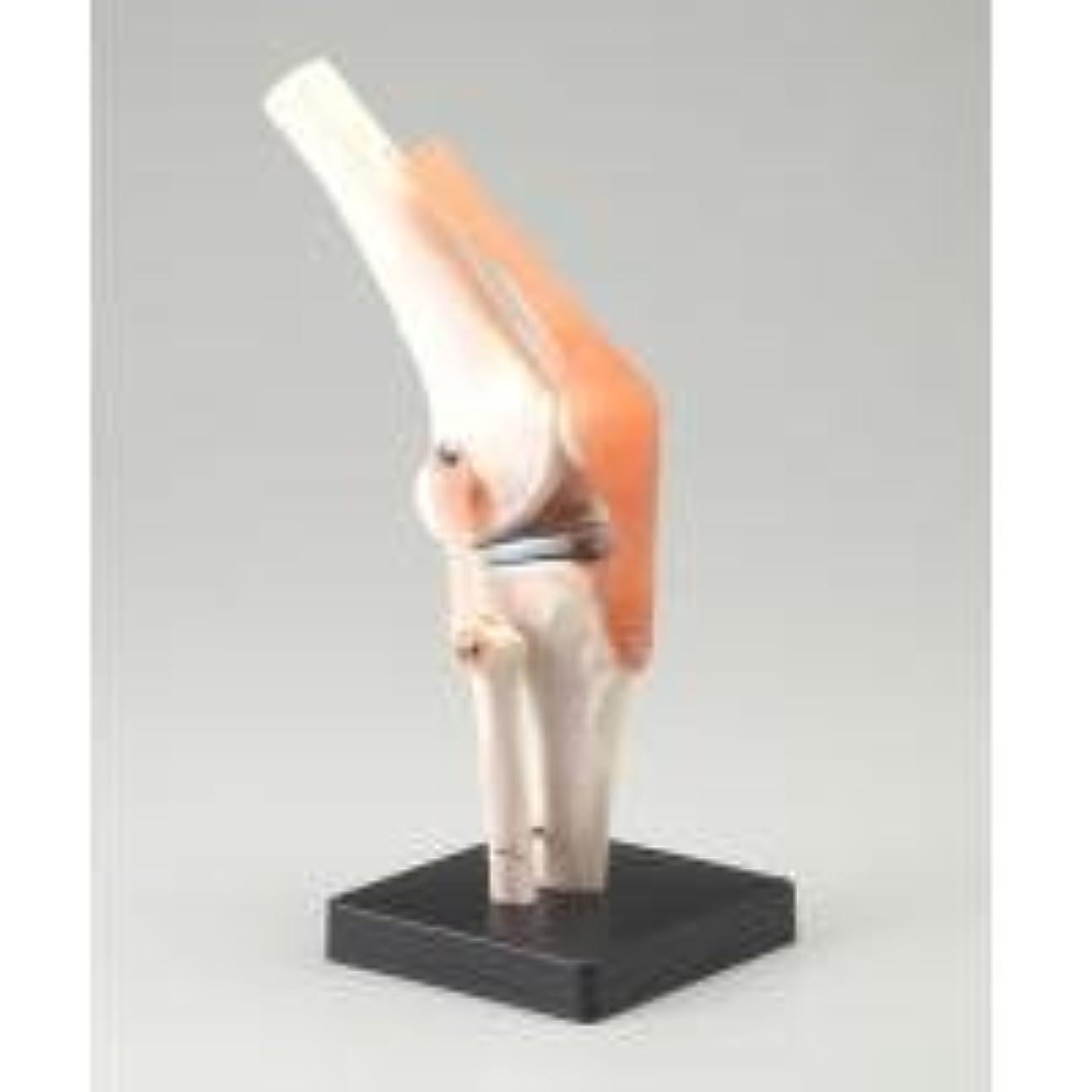 追放するキャラバンコジオスコ人体模型シリーズ 膝関節模型
