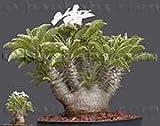 【多肉植物/種子】Pachypodium Saundersii★パキポディウム サウンデルシー☆ 白馬城 [並行輸入品]