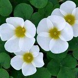 【耐寒性】【球根植物】 オキザリス ホワイト 2株セット 【グランドカバー】