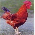 名古屋コーチン 1羽 丸鶏中抜き
