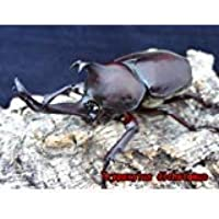 国産 カブトムシ 3令 幼虫 5頭セット