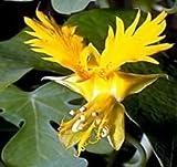 印象的な20カナリアキンレンカクリーパー種子鳥つる多年生つる性植物の美しい明るい鮮やかな花
