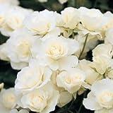 バラ苗 アイスバーグ 国産大苗6号スリット鉢 フロリバンダ(FL) 四季咲き中輪 白系