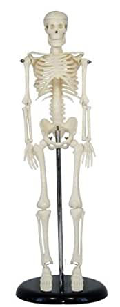 [sealche]★学校用品に最適!人体解剖授業・保健体育・医療★人体骨格模型45cm