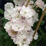 バラ苗 ペレニアルブラッシュ 国産大苗6号スリット鉢 つるバラ(CL) 四季咲き 白系