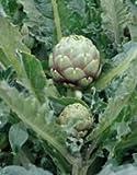 【西洋野菜種子】アーティチョーク種子 (サカタのタネ)小袋
