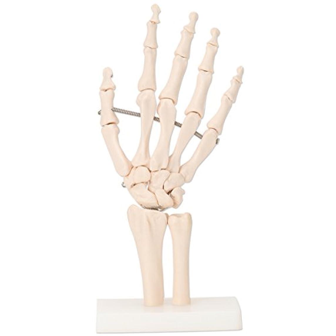 あなたが良くなります怠な軍艦7ウェルネ 手関節模型 実物大 [ 人体模型 骨格模型 骨格標本 骨模型 骸骨模型 人骨模型 骨格モデル 人体モデル ヒューマンスカル 人体 骨格 骸骨 ガイコツ 模型 可動 右手 手 教材 実験 整体院 鍼灸院 ]