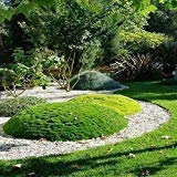 アイリッシュモスグランドカバーの種(Sagina Subulata)200個の+種子(200以上)