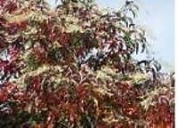 種子パッケージ:発芽SEEDS PLATFIRM-Oxydendron arboreumサワー種の種!