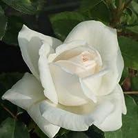バラ苗 つるホワイトクリスマス 国産新苗植え替え6号スリット鉢 つるバラ(CL) 一季咲き大輪 白系