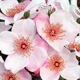 バラ苗 ピンクサクリーナ 国産新苗4号ポリ鉢 修景用 四季咲き中輪 ピンク系