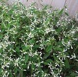 【常緑低木】 ユーフォルビア ダイアモンドフロスト 2株セット  【寄せ植え】【ハンギング】