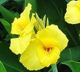 Amazon.co.jp20個/袋、カンナの種、鉢植え、種子、花の種、完全な様々な、出芽率95%、(混合色)