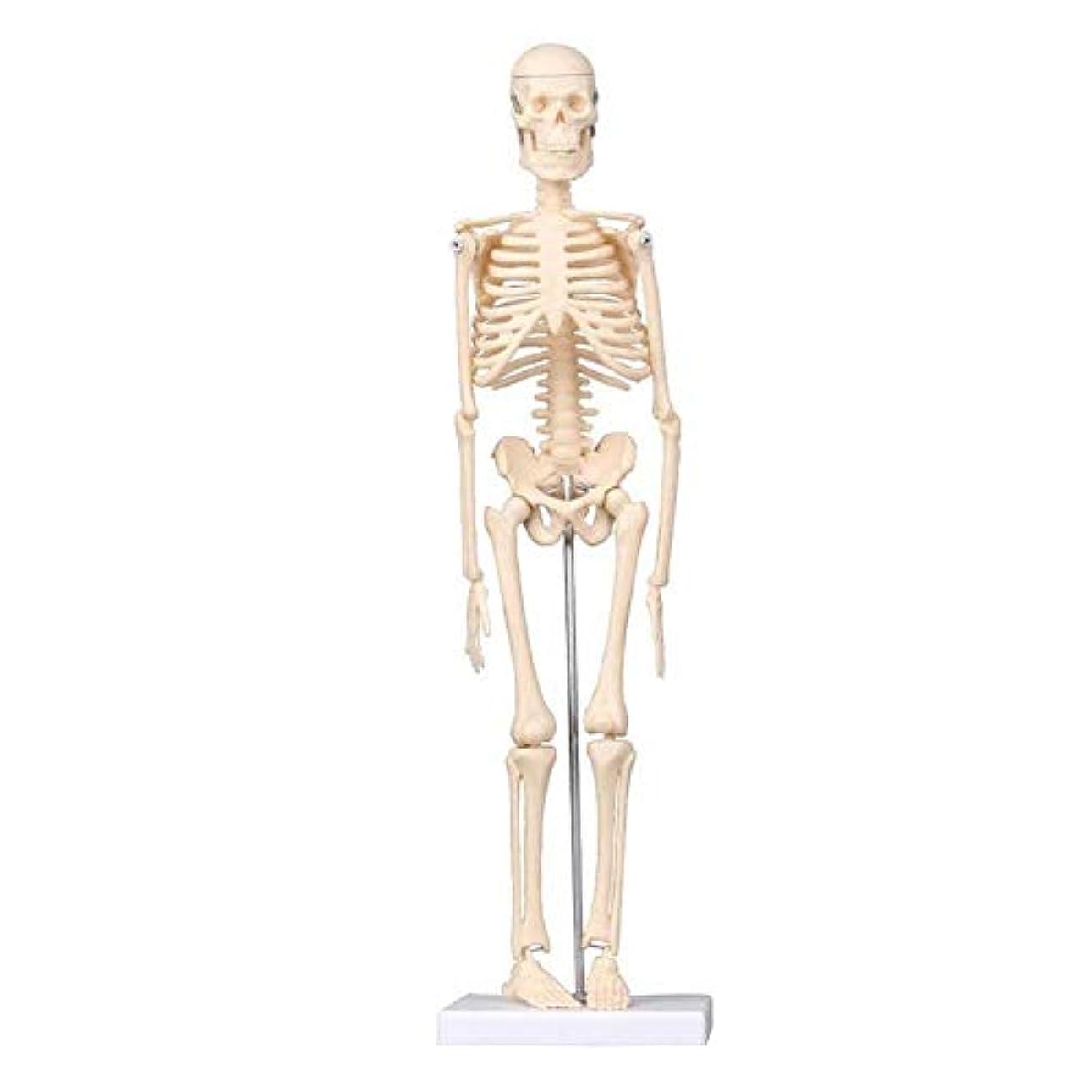 ストローモーテルスイス人教育モデル45 cm人間モデル、解剖学的医療モデル人間の骨の医学研究と教育