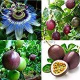 200種:熱帯エキゾチックなパッションフルーツ種子パープルパッションフルーツ発芽