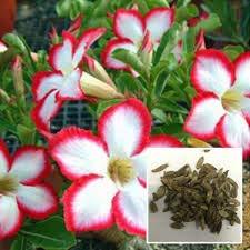 種子:1個の砂漠RoseFlowers種子アデニウムObesum屋内BonsaiMini U
