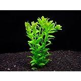 グリーンロタラ (30本) ◆人気の緑 有茎草 丈夫◆