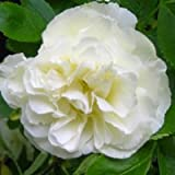 バラ苗 つるサマースノー 国産大苗6号スリット鉢 つるバラ(CL) 返り咲き中輪 白系