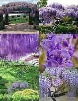 藤フロリバンダ珍しい中国のつる開花紫色の秋の木の種10種