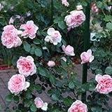 バラ苗 シンデレラ 国産新苗4号ポリ鉢 つるバラ(CL) 四季咲き ピンク系