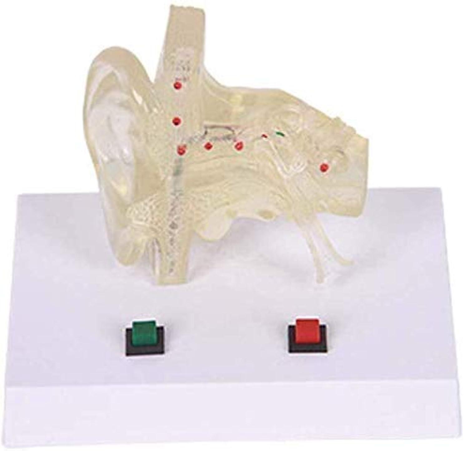 かなり依存する高める教育モデル医療解剖耳モデル-人間の臓器モデル透明耳解剖モデル-生物科学モデル-研究用ディスプレイ