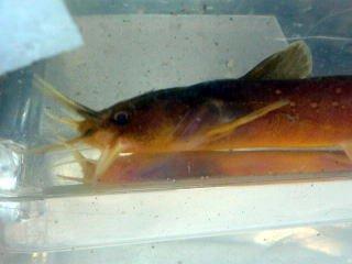 希少品種です アカザ 川魚 産地滋賀県【こだわりの生体をお届けします 名生園】