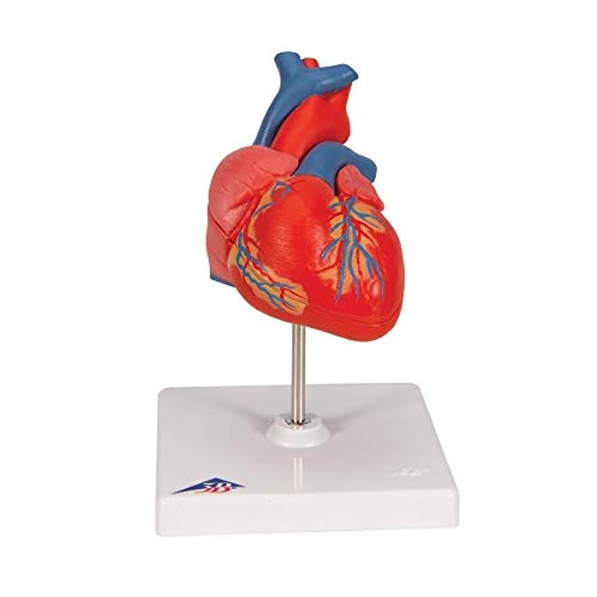 引退する実際3B社 心臓模型 心臓2分解モデル (g08)