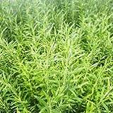 【ハーブ】【常緑小低木】 人気のハーブ ローズマリー(2年生株) 2株セット 【キッチンガーデン】