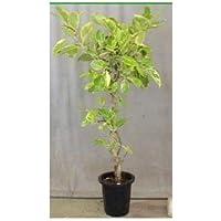 プランツネット 観葉植物 フィカス アルテシーマ 10号 K0114430