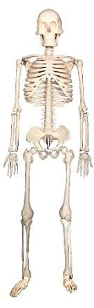 [sealche]★学校用品に最適!人体解剖授業・保健体育・医療★人体骨格模型85cm