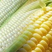 北海道産とうもろこし 生でも食べれる 高糖度トウモロコシ 15本入