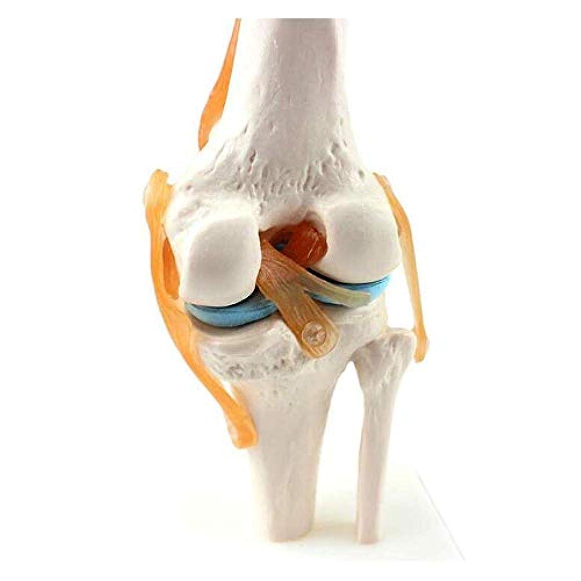 チーターパステル見えない医師と患者のコミュニケーションのための人間の膝靭帯モデルの縞模様の骨格構造の解剖学的モデルの柔軟なサイズの回転