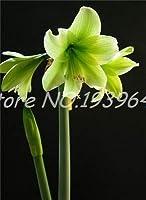 ホットアマリリス盆栽アマリリス花植物ポットフラワーガーデンバルコニー簡単に育て100の中国の安い花盆栽:365016