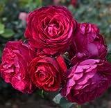 バラ苗 アンプラント 国産大苗ドリュオリジナル角鉢6号 四季咲き つるバラ 赤系 フレンチローズ(ドリュ)