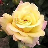 バラ苗 ピース 国産大苗6号スリット鉢 ハイブリッドティー(HT) 四季咲き大輪 黄色系