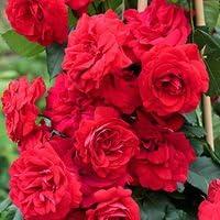 バラ苗 クリムゾンスカイ 国産新苗植え替え6号スリット鉢 つるバラ(CL) 赤系
