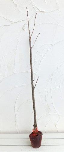 サクランボ:だんちおうとう(暖地桜桃)接木苗4号ポット[支那実桜(シナミザクラ) 1本で結実苗木]