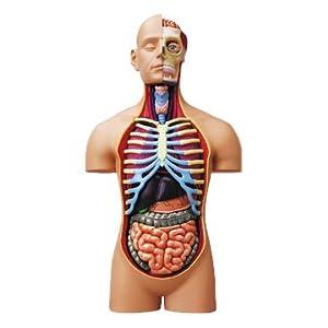 青島文化教材社 スカイネット 立体パズル 4D VISION 人体解剖 No.SP スーパーデラックス胴体解剖モデル