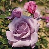 バラ苗 シークレットパフューム 国産大苗6号スリット鉢 ハイブリッドティー(HT) 四季咲き大輪 紫系